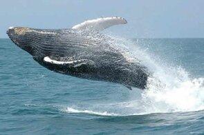 observacao baleia jubarte