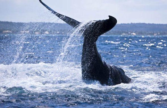 Passeio observação das Baleias Jubarte