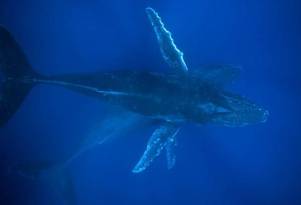mergulhado-baleias-jubarte-morro-de-sao-paulo