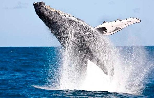 salto da baleia jubarte