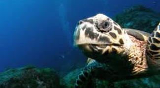 Tartaruga marinha num mergulho no mar de Morro de São Paulo